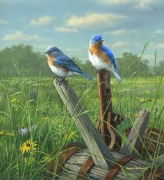 Blue birds in field