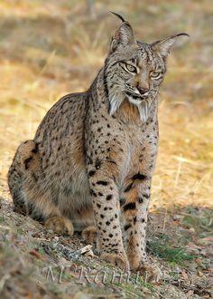 Iberian Lynx by Manuel Ramírez Muñoz on 500px