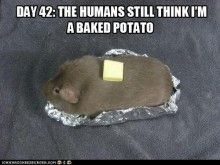 pig humor