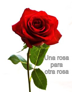 single red rose for valentine day