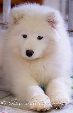 Samoyed puppy, 14 weeks