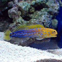 Jawfish, Blue Dot