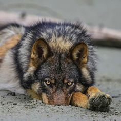 this looks so much like my wolf Stoner that I had in the and . I loved that wolf so much and he was the best friend a girl could have . we survived the world together . Wolf Photos, Wolf Pictures, Animal Pictures, Wolf Spirit, Spirit Animal, Beautiful Creatures, Animals Beautiful, Feral Heart, Tier Wolf