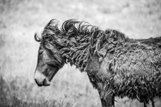 Shaggy on Sable Island Photo by sandy sharkey — National Geographic Your Shot
