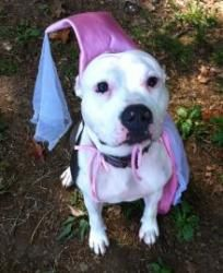 Snow is an adoptable Pit Bull Terrier Dog in Washington, DC. Mirror mirror on the wall, who's the fairest of them all? Why Snow is of course! This pretty girl is as sweet as she is beautiful. She alre...