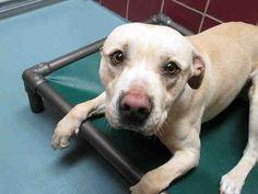 JAYJAY Pit Bull Terrier Mix Adult Male Large City of Houston BARC Animal Shelter & Adoptions Houston TX