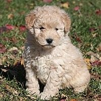 Golden-doodle= Golden retriever + poodle.... not golden lab + poodle.... that would be a labradoodle. :)