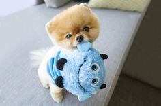 Marvelous Pomeranian Does Your Dog Measure Up and Does It Matter Characteristics. All About Pomeranian Does Your Dog Measure Up and Does It Matter Characteristics. Cute Funny Animals, Cute Baby Animals, Animals And Pets, Funny Dogs, Beautiful Dogs, Animals Beautiful, World Cutest Dog, Cute Pomeranian, Cute Baby Dogs