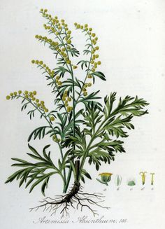 Wormwood, Absinthe - Artemisia absinthium - Medicinally Wormwood has been used to make a bitter tonic to stimulate appetite and improve digestion - circa 1885 Botanical Drawings, Botanical Prints, Artemisia Absinthium, Impressions Botaniques, Plant Drawing, Medicinal Plants, Poisonous Plants, Plantation, Gardens