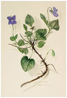 Watercolour drawing of Common Violet Viola canina now known as the Common Dog-violet Viola riviniana. Initialled MRD. Widespread and common in woods, hedgerows and grassland flowing from April to June. Collected in 1849.