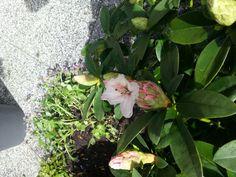 Bloem van rhododendron