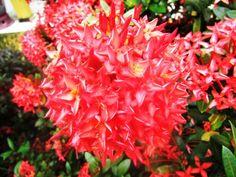 Cara Menanam dan Merawat Bunga Asoka dengan Mudah