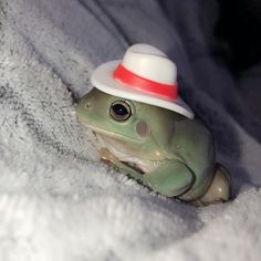 We have decided that frogs wearing hats is the next best thing 💗🐸 Animals And Pets, Baby Animals, Funny Animals, Animal Memes, Cute Animals, Lizard Spiderman, Get Rid Of Lizards, Frog Pictures, Cute Frogs