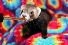 d07a04c1f8b85 33 Best PickleJuice images in 2019 | Pet ferret, Ferrets, Craft jewelry
