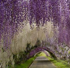 Flower tunnel in the Kawachi Fuji Garden