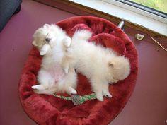 Teacup Pomeranian Puppies For Sale   Teacup Pomeranian Puppies for adoption! - Dubai City - Pets For Sale ...
