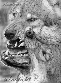 Detailed pencil drawing of two wolves with their mouths open and playfully biting at each others mouths.