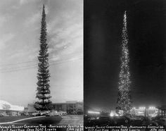 to date, the world's tallest cut down and decorated Christmas tree was a Fir of 212 foot. It was used to celebrate the Christmas of 1950 in the city of Seattle, Washington USA. Washington Usa, Just For Fun, Christmas Tree Decorations, Happy Holidays, Fun Facts, Entertaining, World, Celebrities, Twitter
