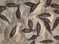 Orkney Fossil Museum #petrified #fish