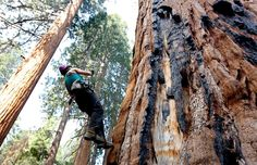 Photo taken Fri. Sept. 11, 2015, Wendy Baxter, a tree biologist from UC Berkeley, climbs a Giant Sequoia tree to retrieve a sensor that measures temps and humidity, at Sequoia National Park near Visalia, Calif. Researchers are studying how California's drought is affecting the Giant Sequoias, some more than 3,000 yrs old and 300 ft tall, making them among the oldest and largest living things on Earth. *Photo: Rich Pedroncelli, AP #Giant #Sequoias #science #droughtstress #trees #CA sfgate.com