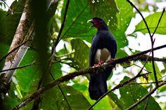 Red-throated Caracara - Daptrius americanus
