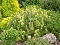 Pinus mugo Frohlings Gold