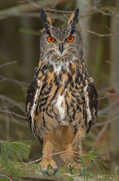 Eurasian Eagle Owl by Bill McCormack on 500px