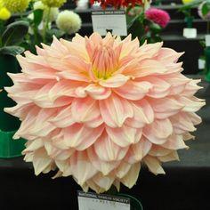 Dahlia Fairway Pilot peach / pink giant decorative