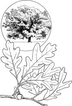 Oak leave and oak tree coloring page