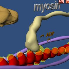 """Muscle contraction and the related """"motor proteins"""" of the cell were traditionally a hard theme to explain to the students. With the help of the virtual reality worlds recently produced by us the students understand this difficult theme much faster. In the 3D environment you explore the whole muscle and proceed to its components - from the muscle fasciculus to the sarcomere. www.bioanim.com/mobile"""
