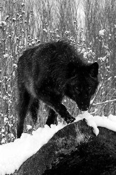 Beautiful #Black #Wolf