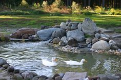 View from my dream patio dreams куры, дом Ponds Backyard, Chickens Backyard, Duck Coop, Diy Pond, Chicken Garden, Duck House, Future Farms, Natural Swimming Pools, Pond Life