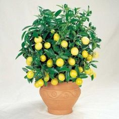 Cheap lemon seeds, Buy Quality tree seeds directly from China trees lemon Suppliers: Promotion! 30 Pcs Citrus limon Tree Seeds Fruit Garden Terrace Seed Orchard Farm Family Potted Bonsai Tree Lemon Seeds ME Home Garden Plants, Fruit Garden, Garden Seeds, Vegetable Garden, Dwarf Fruit Trees, Fruit Plants, Feng Shui, Growing Lemon Trees, Lemon Tree From Seed