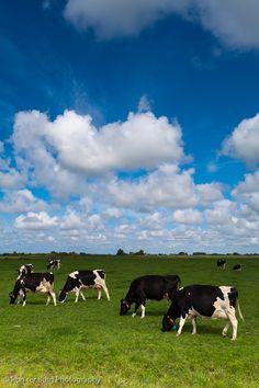 proffesors hebben ontdekt iederekeer waneer koeien een scheet laten ontstaat er een windkracht van wel minimum 170km/uur
