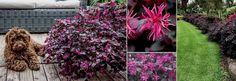 Plants Management Australia - Loropetalum 'Plum Gorgeous'