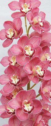 Cymbidium Orchids : Kiwi Orchids - Cymbidum Orchid Varieties - Dutch Kiwi Kiwi Joker