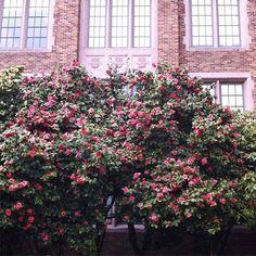 Beautiful flowers on the University of Washington campus!