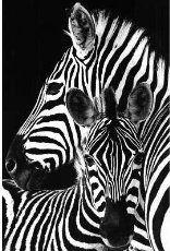 (24x36) Zebra Animal Poster