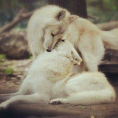 "the-smiling-wolf: ""Night my friends. Until tomorrow…😊🐺 "" Beautiful Creatures, Animals Beautiful, Cute Animals, Wild Animals, Mundo Animal, My Animal, Wolf Time, Wolf Mates, Tier Wolf"