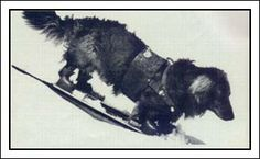 This dog is skiing.  Indeed.
