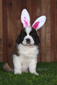 Easter is just around the corner =) #Saint #Bernard