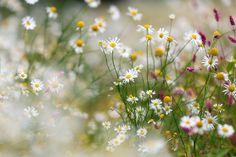 Kwiaty, Rumianek
