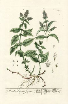 Peppermint tattoo for Nana Peppermint from Elizabeth Blackwell Curious Herbal Prints 1757 Botanical Tattoo, Botanical Drawings, Botanical Flowers, Botanical Prints, Illustration Botanique Vintage, Elizabeth Blackwell, Impressions Botaniques, Mint Plants, Plant Illustration