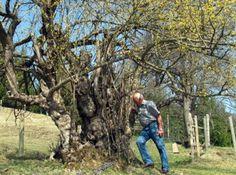 This Dirndl tree is al least 800 years old!