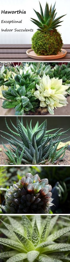Haworthia are fascinating succulents that thrive in indoor conditions. A Happy indoor succulent for most homes. Read all about these plants. Pin now, read later! :)