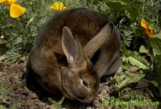 Feed rabbits food without expensive pellets. Castor rex buck eating from garden.