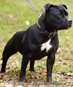 Staffordshire Bull Terrier - The Staffordshire Bull Terrier is a smooth-coated dog with great strength for his size. He is active and agile and comes in six color varieties: solid red, fawn, white, black, blue, or brindle. Today, he serves primarily as a family companion and is seen in the show, obedience and agility rings. Terrier Breeds, Dog Breeds, Stafford Pitbull, English Staffordshire Bull Terrier, Black Pitbull, Nanny Dog, Tier Fotos, Pitbull Terrier, Beautiful Dogs