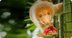 Пятнистый кускус -   Common spotted cuscus  Родиной пятнистых кускусов (лат. Spilocuscus maculatus), самых крупных представителей австралийских поссумов, являются эвкалиптовые и мангровые заросли влажных тропических лесов Новой Гвинеи, Соломоновых островов и мыса Йорк на севере �