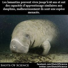 En savoir plus (en anglais) : https://en.wikipedia.org/wiki/Manatee #dauphins #lamantins Les lamantins peuvent vivre jusquà 60 ans et ont des capacités dapprentissage similaires aux dauphins malheureusement ils sont une espèce menacée.