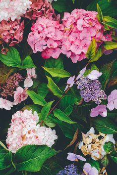 50 shades of hydrangea